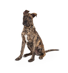 Great Dane And Boxer Mix Puppy Sitting