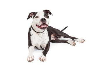 Happy Pit Bull Dog Laying