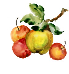 Beautiful watercolor apples illustration on white background