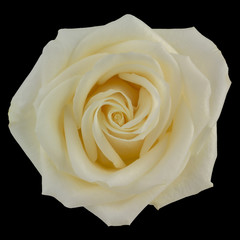 Yellow rose isolated on black