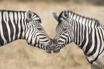 Etosha National Park Namibia, Africa two zebra