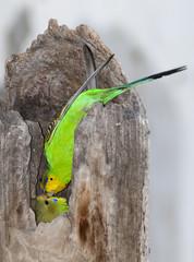 budgerigar feeding young bird in tree stump