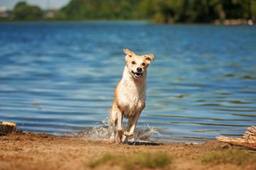 purebred red and white dog running