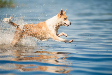 red and white dog jumping in the water