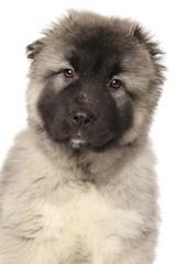 Portrait of a Alabai puppy