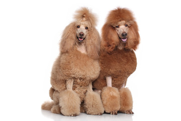 Two Standard Poodles