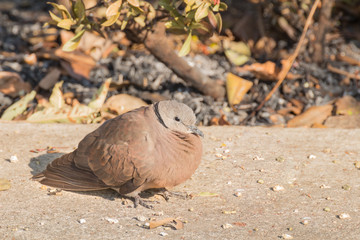 Dove standing for sunbathe on the footpath