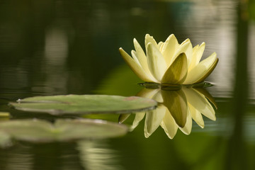 yellow water lily reflecting on lake surface