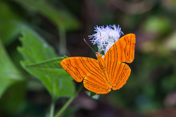 Intermediate Maplet butterfly
