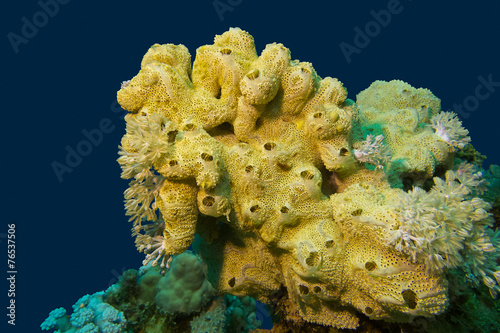 coral reef with great yellow sea sponge in tropical sea