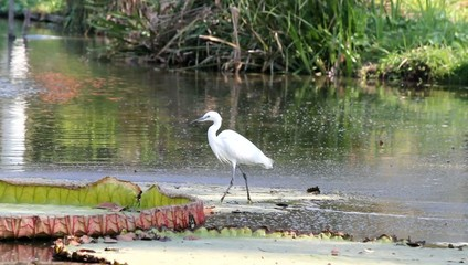 A snowy egret fishing in the marshy swamp lands