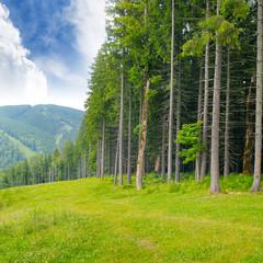 pine wood on the hillside