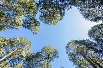 ヒノキ林の間から見あげた青空