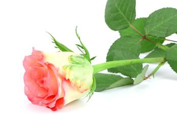 pink rose flower on white background!