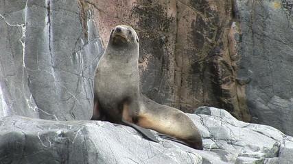 Antarctic Fur Seal on a Rock in Half Moon Bay