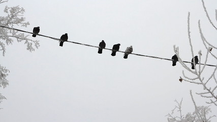 Birds on a electrical wire over sky at winter day