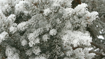 Pine branch covered with snow on a winter day