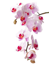 Orchid isolated on white background. Focus on left center flower