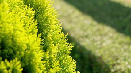 Thuja - ornamental tree