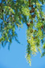 Larch branches with cones on the sky background