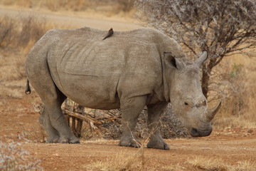 White Rhino with Oxpecker on its Back