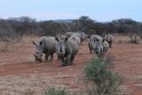 White Rhinos Charging