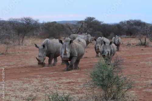 Foto op Canvas Neushoorn White Rhinos Charging