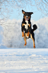 Swiss tricolor Appenzeller sennenhund dog jumps on the snow