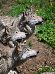 Grey timber wolves pack looking up