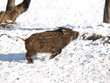 Baby boar playing arround in snow