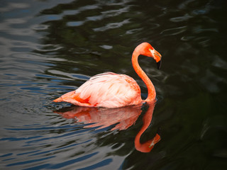 Pink flamingo swimming