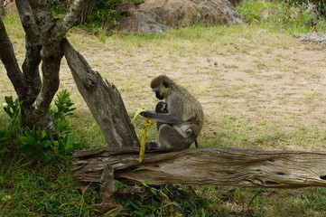 wild monkey eating banana