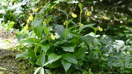 Frauenschuh Orchideen, seltene, geschütze Art