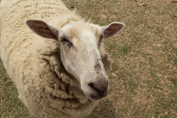 Lone sheep close up