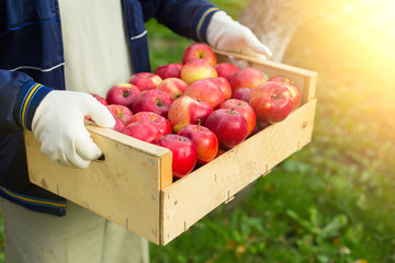 Man hold big box with beautiful clean apple in garden
