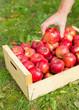 Man hand put red apple in box in garden