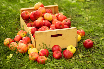 photo of freshly picked red apples in a wooden crate on grass in