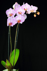 Potted blooming Phalaenopsis orchid isolated on black