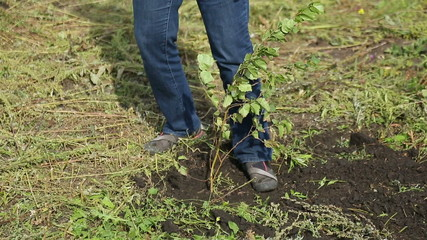 Man trample down the ground while planting a tree