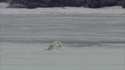 Polar Bear Ice Swim