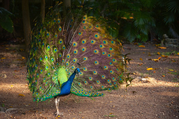 Wild Peacock in tropical forest with Feathers Out