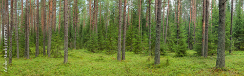 Summer forest panorama - 76577165