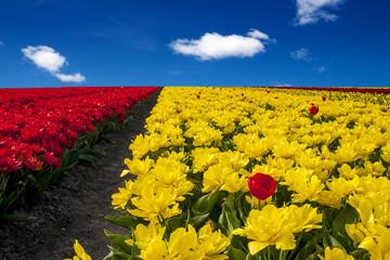 Coltivazione dei tulipani