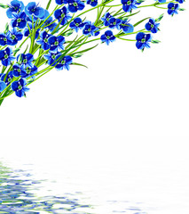 forget-me-flower isolated on white background