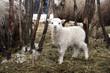 Skudde lamb breed sheep. Winter in the farm