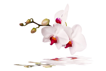 white orchid on a white background with reflection