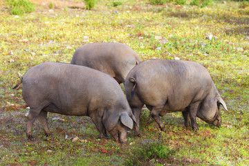 Group of Iberian pig in the meadow