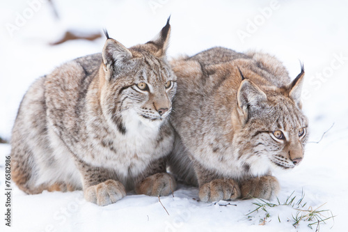 Papiers peints Lynx two watchful lynx