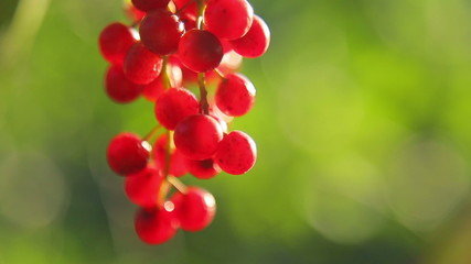 Bunch of bird cherry hanging on a tree, close up