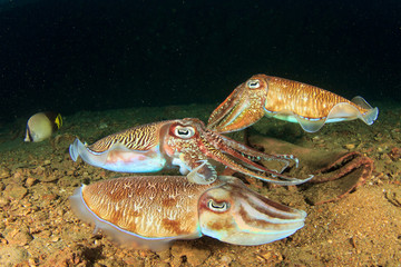 Cuttlefish gather in mating season